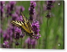 Butterfly In Lavender Acrylic Print