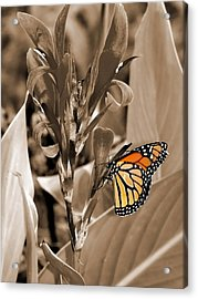 Butterfly In Sepia Acrylic Print