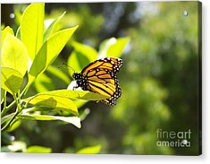 Acrylic Print featuring the photograph Butterfly In Sunlight by Carol  Bradley