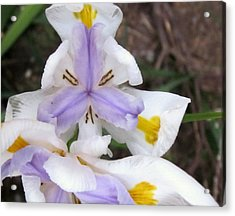 Butterfly Iris Acrylic Print by Miss McLean