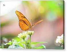 Butterfly - Julie Heliconian Acrylic Print