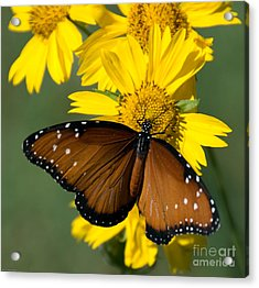 Butterfly Kisses Acrylic Print by Charles Dobbs