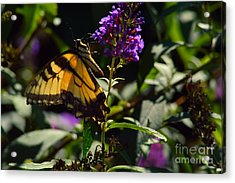 Butterfly Kisses Acrylic Print by Robyn King