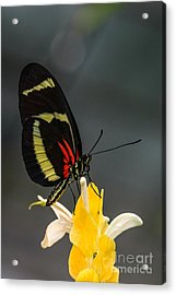 Butterfly Acrylic Print by Lisa Plymell