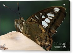 Butterfly Macro Acrylic Print