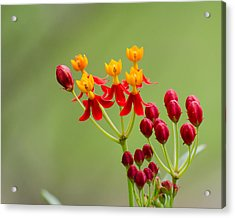 Butterfly Milkweed Acrylic Print