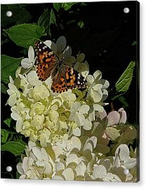 Butterfly On Hydrangea Acrylic Print
