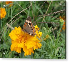 Acrylic Print featuring the photograph Butterfly On Marigold by Beth Akerman