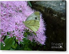 Butterfly On Mauve Flowers Acrylic Print