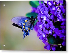 Butterfly On Mountain Laurel Acrylic Print