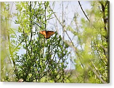 Butterfly On Schrub Acrylic Print by Thor Sigstedt
