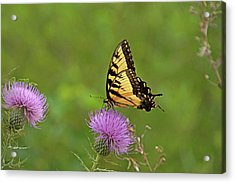 Acrylic Print featuring the photograph Butterfly On Thistle by Sandy Keeton
