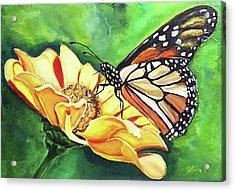 Butterfly On Yellow Daisy Acrylic Print by Silvia Philippsohn