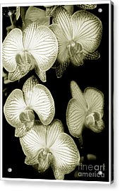 Butterfly-orchids Acrylic Print by Son Of the Moon