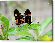 Butterfly Pair Acrylic Print