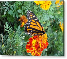 Butterfly Petals Acrylic Print by Christie Minalga