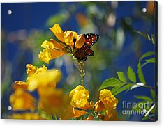 Butterfly Pollinating Flowers  Acrylic Print by Donna Greene