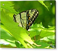 Butterfly Rest In The Leaves Acrylic Print by Debra     Vatalaro