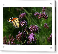 Butterfly Acrylic Print by Robert Ruscansky