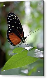 Butterfly Royalty Acrylic Print