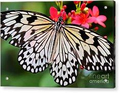 Butterfly Spectacular Acrylic Print