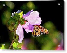 Butterfly Sunset Acrylic Print by Betty LaRue