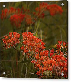 Butterfly Weed Asclepias Tuberosa Acrylic Print by Bellesouth Studio