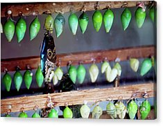Butterfly With Butterfly Chrysalis 1 Acrylic Print by Andee Design