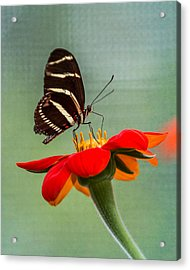 Acrylic Print featuring the photograph Butterfly Zebra Longwing On Zinnia by Patti Deters