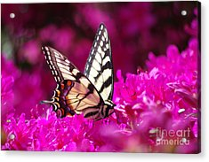 Butterfly1 Acrylic Print