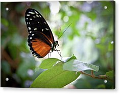 Butterfly2 Acrylic Print