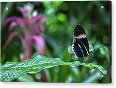 Butterfly3 Acrylic Print