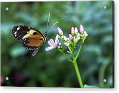 Butterfly4 Acrylic Print