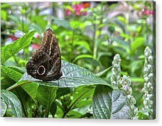 Butterfly5 Acrylic Print
