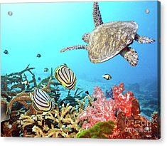 Butterflyfishes And Turtle Acrylic Print
