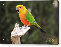 Butters Acrylic Print by DiDi Higginbotham