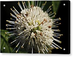 Acrylic Print featuring the photograph Buttom Bush by Perla Copernik