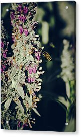 Buzzing In My Lamb's Ear Acrylic Print