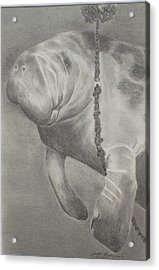 Bw Manatee Playing With Crabtrap Acrylic Print