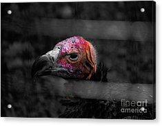 Bw Vulture - Wildlife Acrylic Print
