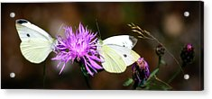 Cabbage Butterflies On Spotted Knapweed Acrylic Print by Albert Seger