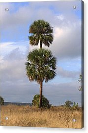 Acrylic Print featuring the photograph Cabbage Palms by Peg Urban