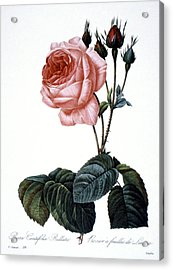 Cabbage Rose Acrylic Print by Granger
