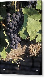 Cabernet Grapes On The Vine In Santa Acrylic Print by Rich Reid