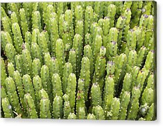 Acrylic Print featuring the photograph Cacti by Josef Pittner