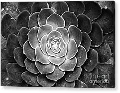 Cactus 18 Deep Bw Acrylic Print