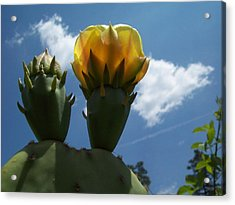 Cactus Beginning To Bloom Acrylic Print