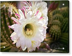Cactus Bloom 2 Acrylic Print