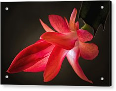 Cactus Bloom Aglow Acrylic Print by James Barber