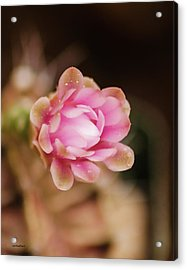 Cactus Bloom Acrylic Print by Allen Sheffield